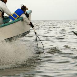 El pelicano fue identificado gracias a la anilla que se le había colocado en su pata derecha tras ser rescatado del derrame de petróleo.
