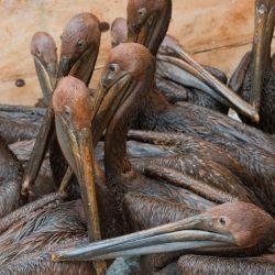 Como la mayoría de las aves marinas, el pelicano pardo está programado genéticamente para regresar a su colonia de nacimiento.
