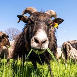 Berlín: las ovejas de Gotland comen hierba en el jardín del palacio de Charlottenburg. Desde finales de abril hasta noviembre de 2021, las ovejas pastarán allí como una contribución a la conservación práctica de la naturaleza. | Foto:Christophe Gateau / DPA