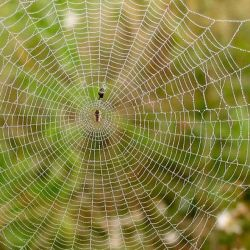 La araña puede sentir el impacto y el forcejeo de una presa gracias a las vibraciones que se transmiten a través de los hilos de la tela.