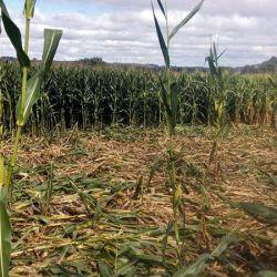 El jabalí es considerado plaga para el cultivo del maíz.
