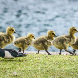Los polluelos de ganso de Canadá marchan en línea a lo largo de las orillas del río Main, mientras un padre silba y les abre el camino. | Foto:Frank Rumpenhorst / DPA
