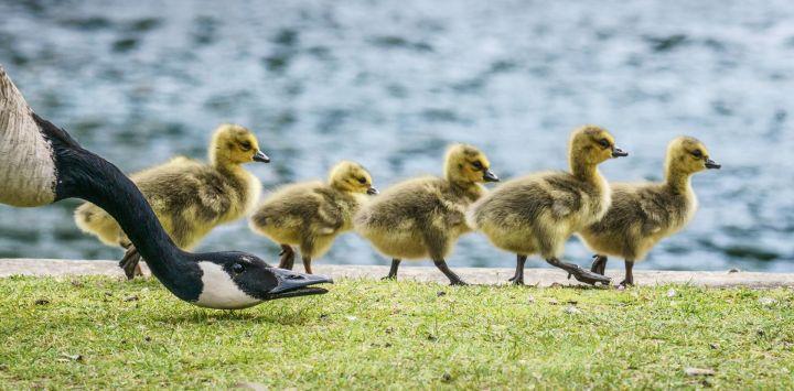 Los polluelos de ganso de Canadá marchan en línea a lo largo de las orillas del río Main, mientras un padre silba y les abre el camino.