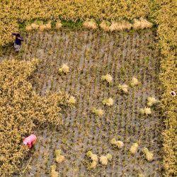 Esta foto aérea muestra a trabajadores cosechando arroz en un campo de arroz en Kishoreganj. | Foto:Munir Uz Zaman / AFP