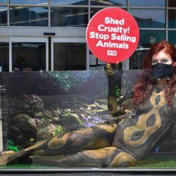 Después de pasar cinco horas pintando su cuerpo como una actriz y activista de Python, Meggan Anderson sostiene un letrero desde el interior de un tanque de plexiglás durante una protesta de PETA frente a una tienda Petco en Hollywood, California. | Foto:Frederic J. Brown / AFP