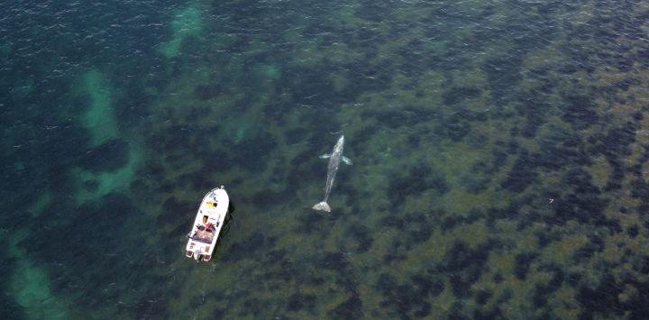 Una fotografía muestra una ballena gris, que se ha alejado del Pacífico, nadando frente a la costa mediterránea francesa, cerca de Bormes-les-Mimosas, en el sur de Francia.
