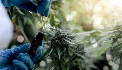 El cultivo de cannabis ya está aprobado en varias provincias argentinas.