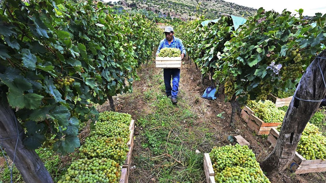 A worker carries a crate with grapes during a harvest at a vineyard in Valle de la Concepcion community, some 30 km from Tarija, Bolivia on March 27, 2021. Between 1,600 and 2,000 meters above the sea level and with a temperate climate in the south of the country, Bolivian companies collect a tradition of hundreds of years of the Jesuitic Missions to produce High Altitude Wines, which now dream of reaching international markets.