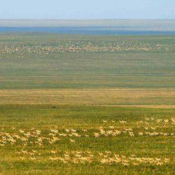 La Fundación Rewilding Argentina es la única organización en el país con dos proyectos activos de investigación sobre migraciones de grandes herbívoros.
