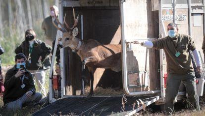 La liberación del ciervo del pantano Aucan en una reserva cercana al Delta. Foto Gonzalo Prados.