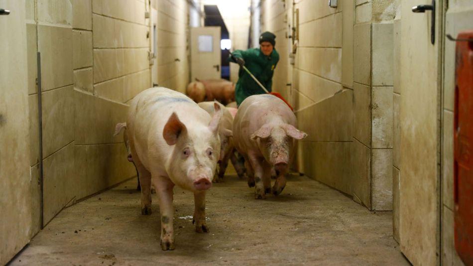 China culpa a cerdos 'gigantes' por caída en precios de carne 20210526