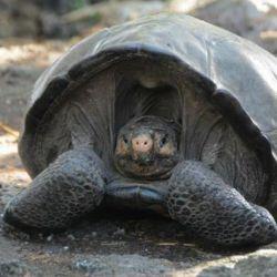 Pertenece a la especie Chelonoidis phantasticus, que estaba considerada extinta hace más de un siglo-