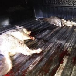 Los delincuentes llevaban varios ejemplares de vizcachas muertas y agonizando en la parte trasera de una camioneta.