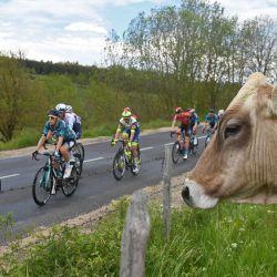 Los ciclistas pasan junto a una vaca durante la segunda etapa de la 73a edición de la carrera ciclista Criterium du Dauphine, 173 km entre Brioude y Saugues.   Foto:Alain Jocard / AFP