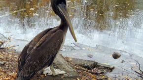 0601_pelicano