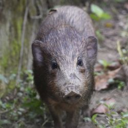 La especie fue redescubierta en 1971.