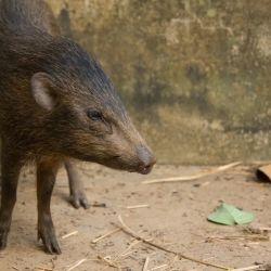 Actualmente hay entre 300 y 400 animales en el medio natural y 76 en cautiverio.