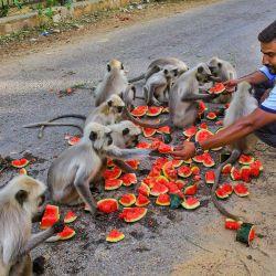 La gente alimenta con sandías a los langures en un día caluroso en medio de un bloqueo relacionado con el coronavirus en las afueras de la ciudad de Jaipur.   Foto:Vishal Bhatnagar / PTI / DPA