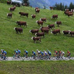 El pelotón corre durante la octava etapa de la 73a edición de la carrera ciclista Criterium du Dauphine, a 147 km entre La Lechere-Les-Bains y Les Gets. | Foto:Alain Jocard / AFP