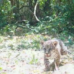 Hasta el momento, se creía que Mbareté era un yaguareté macho.