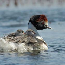 """""""De continuar con la obra, el lugar se convertirá en una trampa mortal para el Macá Tobiano, ave emblemática endémica de esa región patagónica"""", afirman los ambientalistas.."""