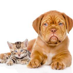 Tanto el bulldgo inglés como el francés son perros muy amigables con los gatos.