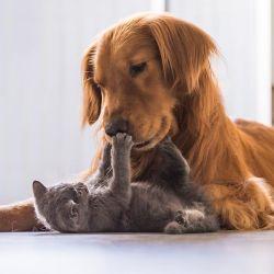Si de cachorrito se cría junto a un gato, el golden retriever es uno de los perros que mejor se lleva con ellos