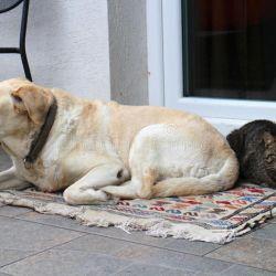 El labrador retriever es un perro ideal para vivir tanto con niños y adultos como, así también, con toda clase de animales de compañía.