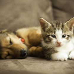 Bien educados, los perros y los gatos pueden convivir pacífica y armoniosamente en el hogar.