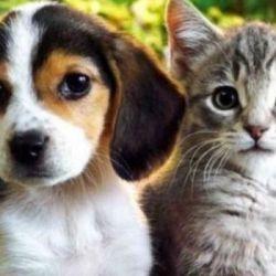 El Beagle es uno de los perros que mejor se lleva con los felinos.