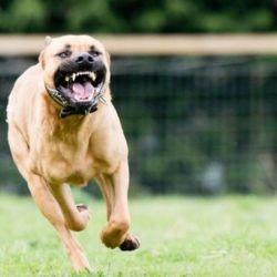 Tanto los dueños como los perros potencialmente peligrosos deberán registrarse.