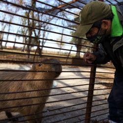 Entre los animales rescatados había un tigre de bengala, una leona, un coipo y un carpincho.