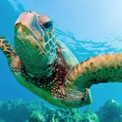 Seis de las siete especies de tortugas marinas se encuentran en peligro de extinción.