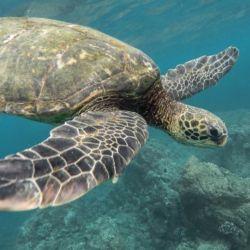 Son capaces de nadar enormes distancias, a velocidades que pueden alcanzar los 35 kilómetros por hora.