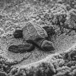 Viven un promedio de entre 70 a 80 años y requieren de aguas cálidas y tropicales para poder sobrevivir