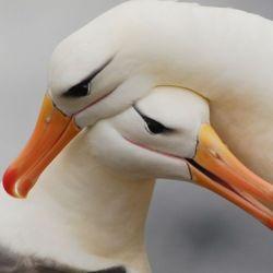 Los albatros están entre las aves voladoras de mayores dimensiones.