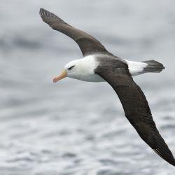 El albatros de ceja negra es el albatros más abundante del mundo.