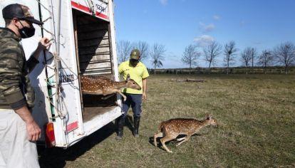 Así trasladaron a 5 ciervos axis que tenían como mascotas a un santuario natural