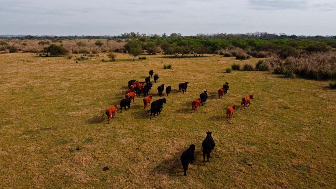 Cattle graze on a free-range ranch in Rosario, Argentina, on Friday, June 4, 2021.