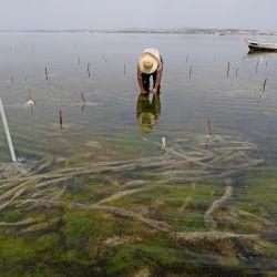 Un trabajador recoge algas rojas en la laguna de Menzel Jemil, en la región de Bizerta, al norte de Túnez. | Foto:Fethi Belaid / AFP