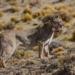 Ttanto los pumas como los zorros tienen un rol vital en los ecosistemas.