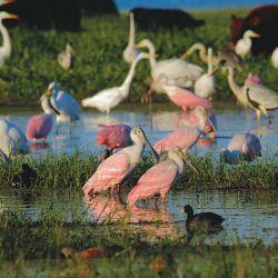 Gallaretas, espátulas rosadas y garzas en  una laguna interior.