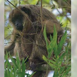 Mono carayá o aullador, el segundo animal más ruidoso del mundo.