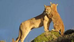 Piden derogar una ley que premia la caza de pumas y de zorros en Chubut