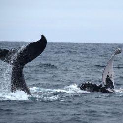 Entre los meses de julio y agosto, las hembras y los machos maduros llegan a las costas ecuatorianas