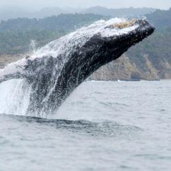 Las ballenas jorobadas llegan a la madurez sexual entre los 2 y los 5 años cuando alcanzan los 11 metros de largo