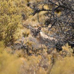 El Parque Patagonia se viene posicionando como uno de los destinos favoritos para el avistaje de pumas.