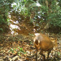 Se trata de un ejemplar de muntíaco gigante, una especie en peligro crítico de extinción.