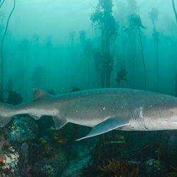 El tiburón gatopardo es una de las especies más buscadas.