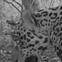 Los ejemplares avistados continuarán siendo monitoreados para poder determinar si existen otros ejemplares nuevos en esa reserva jujeña.